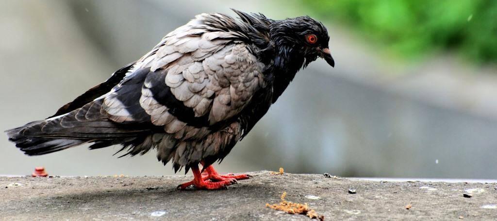 De gehavende duif